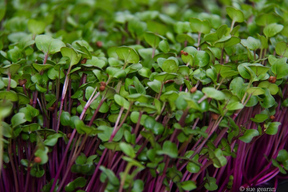 courtesy of http://wegrowmicrogreens.com